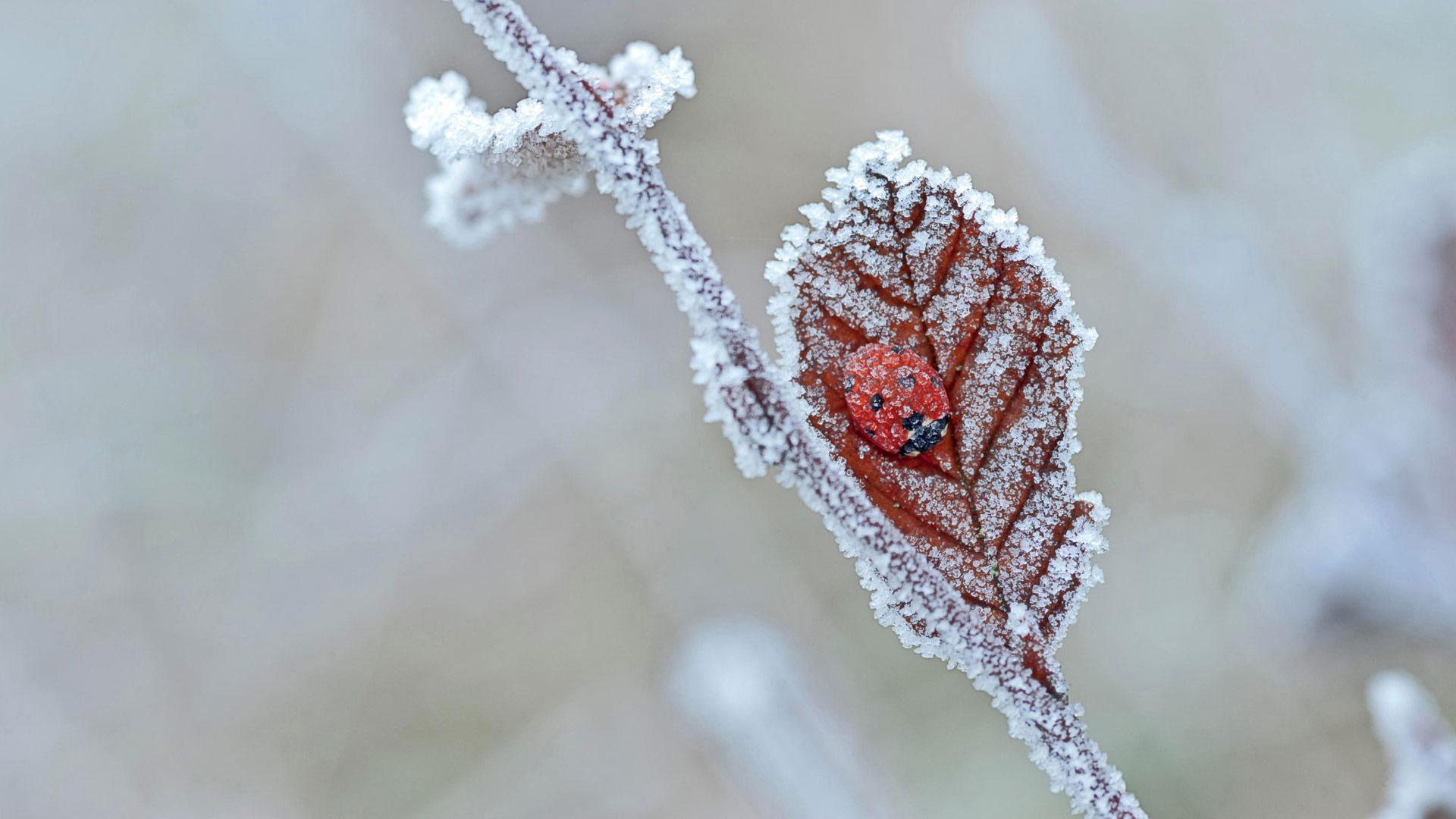 一只冬眠的瓢虫